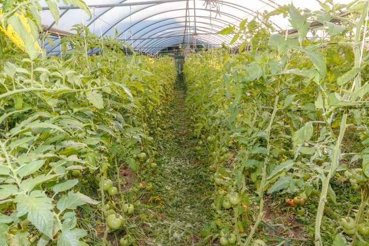 tomates gulpiyuri